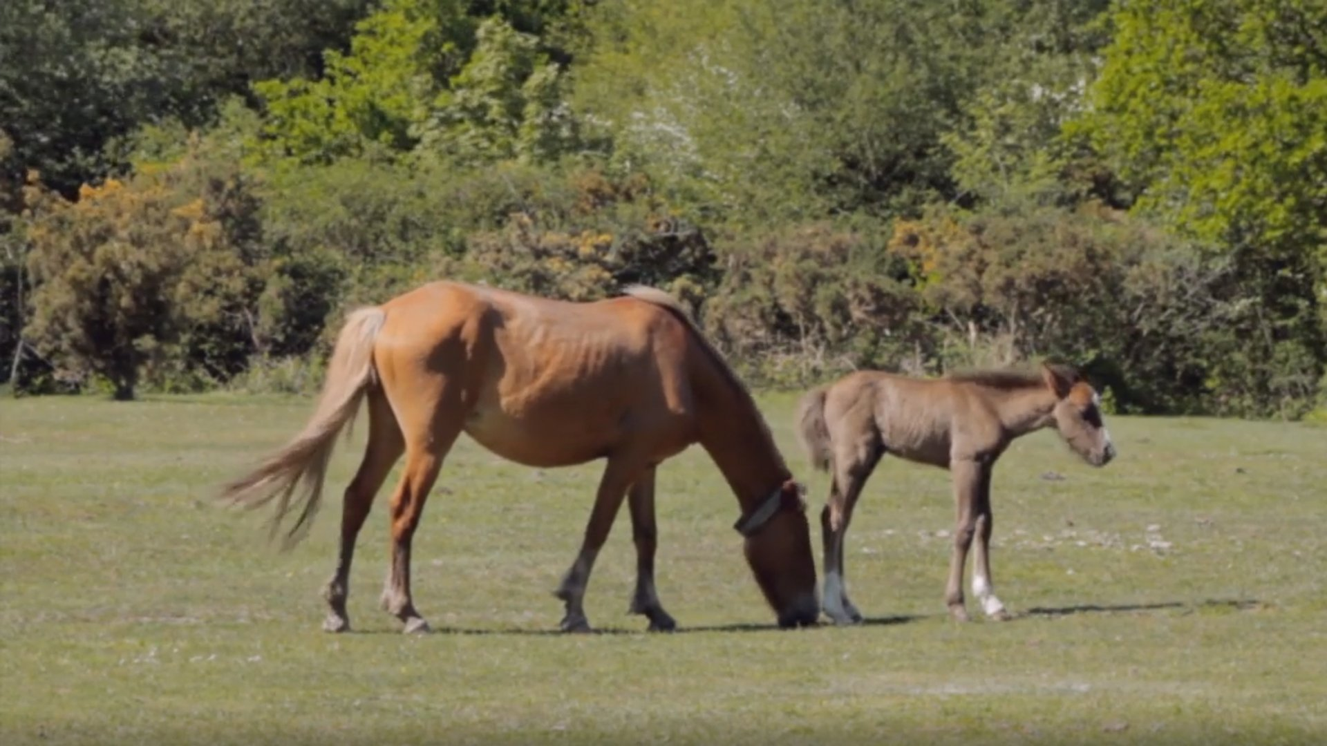 New Forest Horses